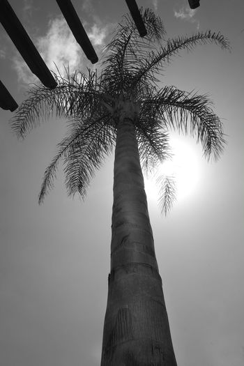 Tree Plant Sky Low Angle View Tree Trunk Nature Trunk Tropical Climate Palm Tree Tranquility No People Tall - High Beauty In Nature Growth Day Outdoors Scenics - Nature Tranquil Scene Cloud - Sky Sunlight Tropical Tree Coconut Palm Tree Palm Leaf