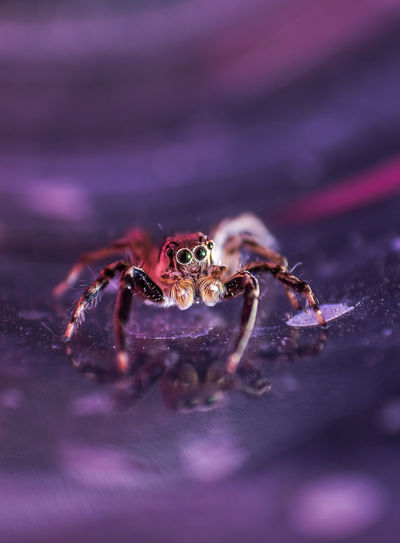 Close-up of spider on purple surface