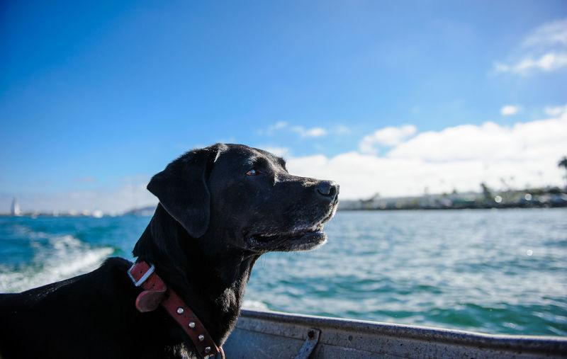 Black Labrador Retriever in boat Animal Animal Themes Black Lab Boat Dog Domestic Animals Labrador Retriever No People Ocean Outdoors Pet