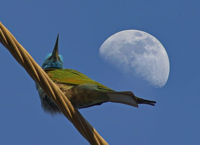bee eater Green