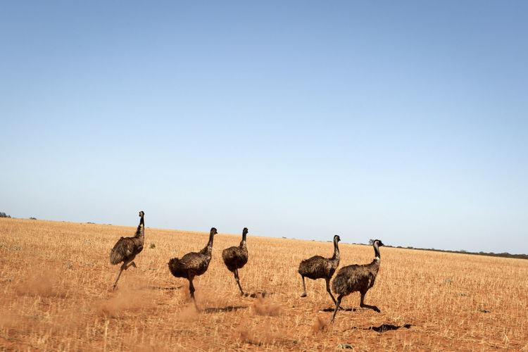 Emu birds running on arid landscape against clear sky