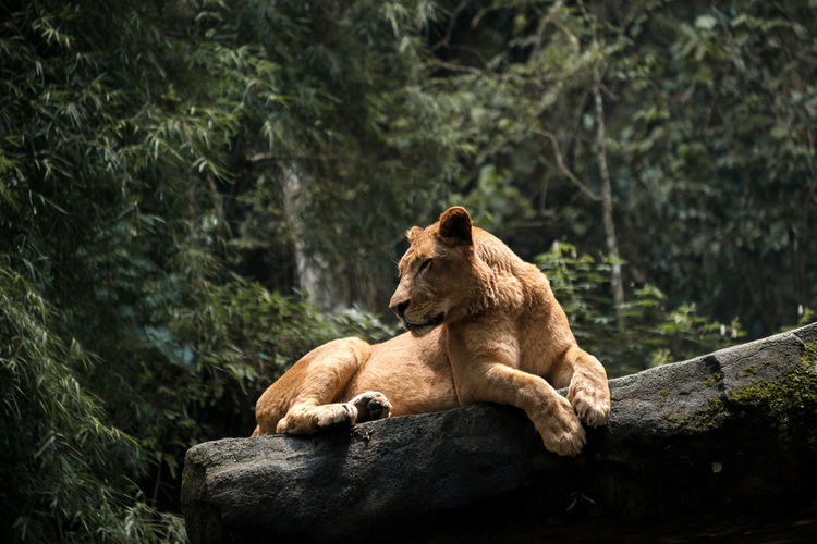 Side view of a female lion laying on big stone with green tree background