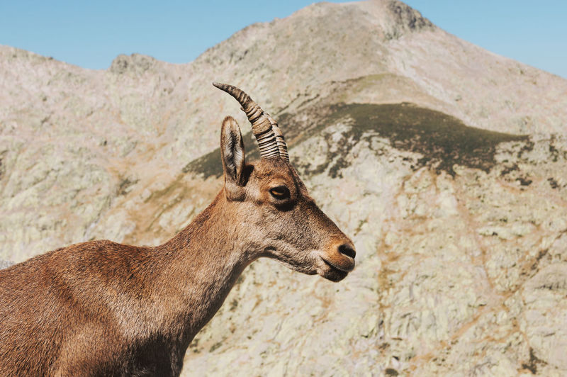Portrait of a typical spanish mountain goat in the mountains