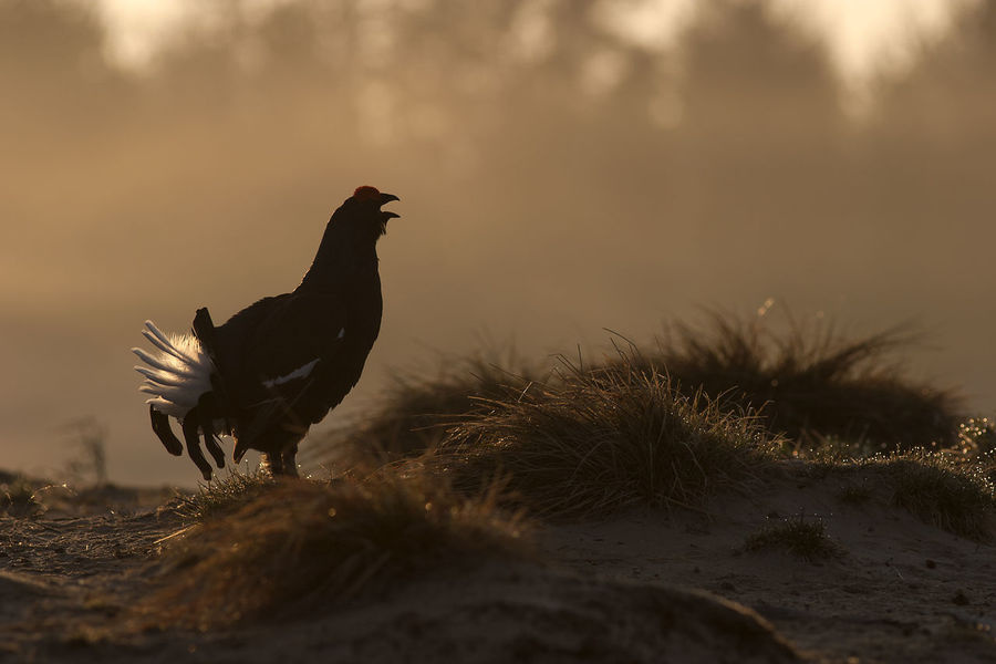 Black Grouse Animal Themes Animals In The Wild Beauty In Nature Bird Grouse Nature Tetrao Tetrix
