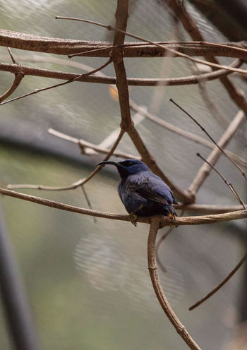 Purple honeycreeper known as Cyanerpes caeruleus can be found in western Columbia Animal Themes Animals In The Wild Avian Beauty In Nature Close-up Cyanerpes Caeruleus Day Honeycreeper Nature No People Outdoors Purple Honeycreeper Wildbird