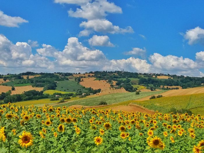 sunflowers Sunflower Landscape Landscape_Collection Summer Sky Colors Italy Marche Region Italia Country Rural Panorama Summertime Campagna Paesaggio Paesaggioitaliano Landscape_photography Campagna Italiana Country Road Girasoli Flower Head Flower Rural Scene Agriculture Tree Multi Colored Field Summer Sunflower Blue