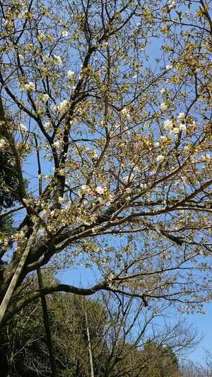 Cherry Blossoms Blossom Pink Flower Pink Cherryblossom Spring Spring Flowers 開花 Sakura2016 Flower Collection
