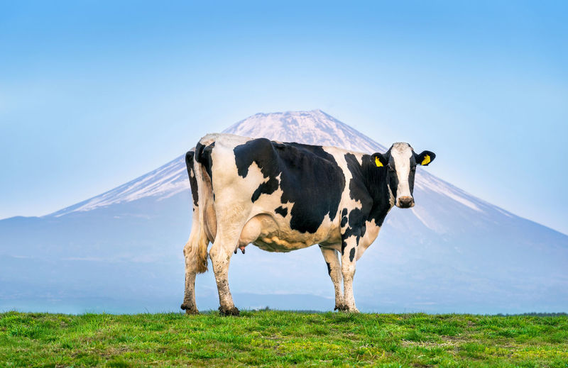 Cows standing on the green field in front of Fuji mountain, Japan. Mammal Mountain Animal Domestic Animals Animal Themes Sky Landscape Livestock Domestic Grass Nature Land One Animal Environment Scenics - Nature Cow Field Pets Vertebrate Blue No People Mountain Range Outdoors Herbivorous Snowcapped Mountain