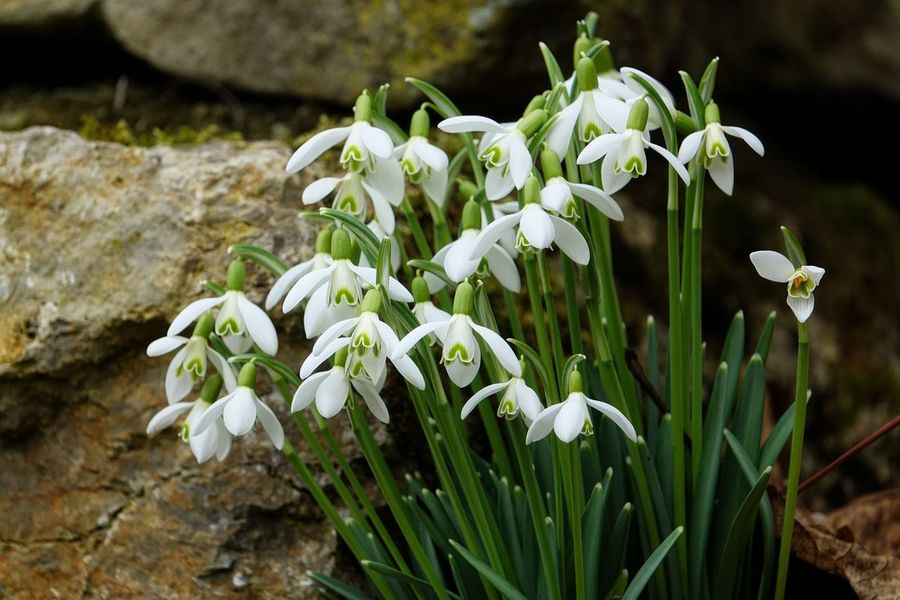 Frühling Garten Pflanze Natur Beauty In Nature Blooming Close-up Day Flower Flower Head Focus On Foreground Fragility Freshness Growth Nature No People Outdoors Petal Plant Schneeglöckchen Snowdrop Steine White Color