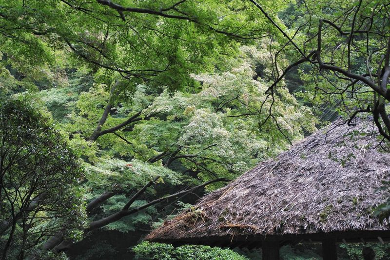 Nature Tree Forest Beauty In Nature No People Scenics Growth Green Color Outdoors Low Angle View Day Architecture The Week On Eyem The Purist (no Edit, No Filter) EyeEmNewHere Travel Destinations Tree Japan Tokyo Tokyo,Japan Meiji Shrine Meiji Nippon The Great Outdoors - 2017 EyeEm Awards