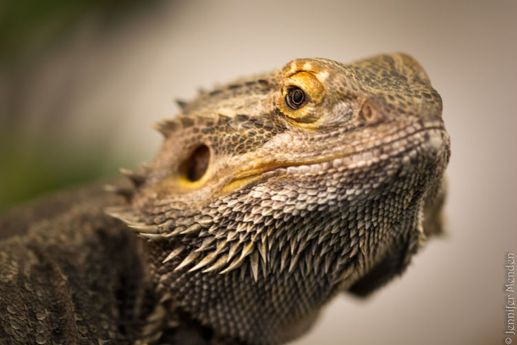 This is a bearded dragon and he was really lively! I always thought this animals were... more calm 😅 but it was exciting to work with this little guy 😊 Taking Photos Enjoying Life Showing Imperfection Animals Animal Pet Photooftheday No People Nikon D5200 Nikonphotography Animal Photography EyeEm Best Shots Pet Photography  Animal Body Part Animal Themes Hobbyphotographer Reptile Reptile World Reptile Photography Bearded Dragon Dragon The Photojournalist - 2016 EyeEm Awards Nature's Diversities