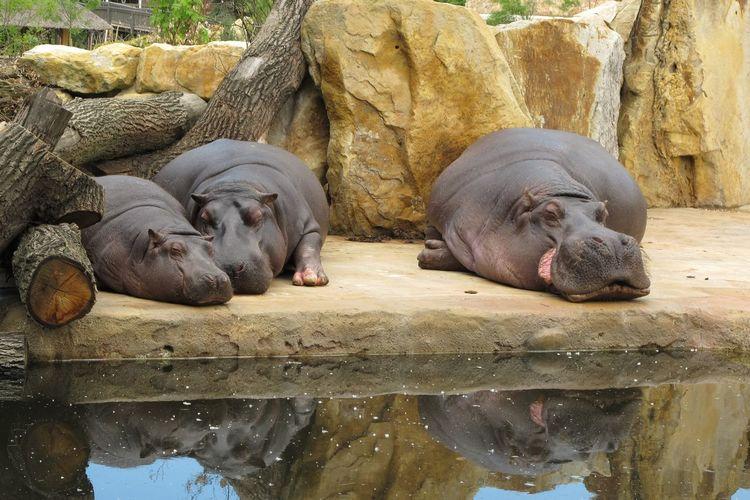 Family Hippopotamus Siesta Animal Animal Themes Animals In Captivity Day Eyes Closed  Group Of Animals Mammal Nap No People Relaxation Resting Sleeping Vertebrate Water Zoo