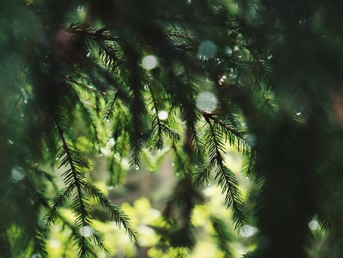 After The Rain Waterdrops Tree Plant Low Angle View Growth Beauty In Nature Nature Green Color No People Tranquility Forest Outdoors Pine Tree Day
