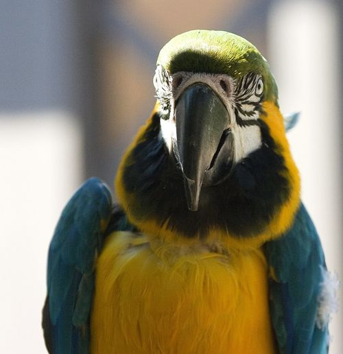 Animal Animal Body Part Animal Eye Animal Head  Animal Themes Animal Wildlife Animals In The Wild Beak Bird Close-up Day Focus On Foreground Gold And Blue Macaw Macaw Nature No People One Animal Outdoors Parrot Vertebrate Yellow