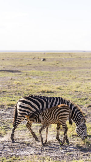 Africa Amboseli National Park Animal Wildlife Animals In The Wild Grevy's Zebra Kenya Safari Animals Striped Zebra