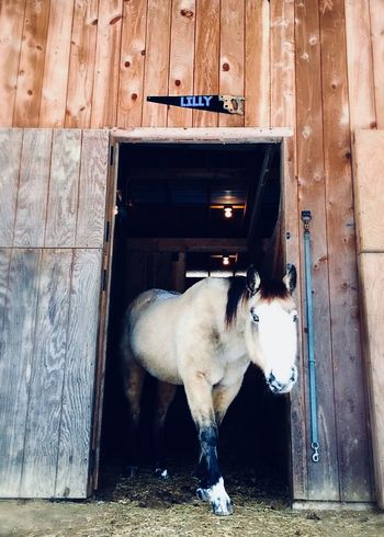 Lilly Ba Nilly Barn Buckskin Equine Equestrian Farm Life Perspective Horses Horse Photography  Horse Domestic Animals One Animal Animal Themes Mammal Pets Door Day Standing No People Doorway Architecture Open Door