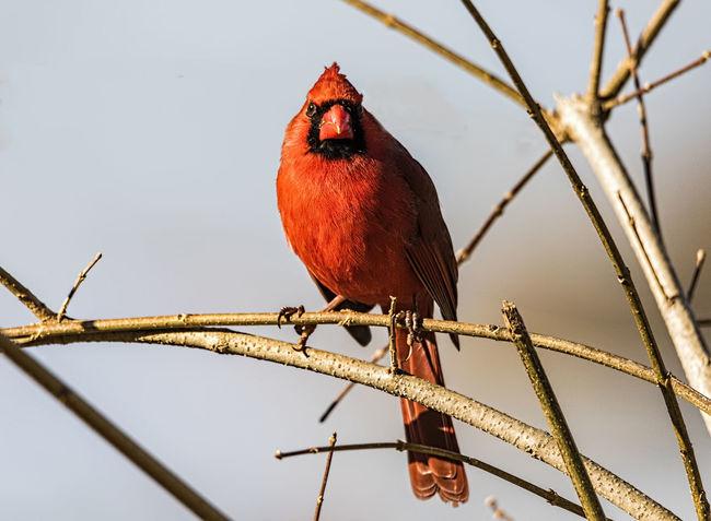 Northern Cardinal Feathers Northern Cardinal Songbird  Animal Themes Animal Wildlife Animals In The Wild Avian Bird Cardinalidae Day Fauna Nature No People One Animal Outdoors Perching Red Redbird