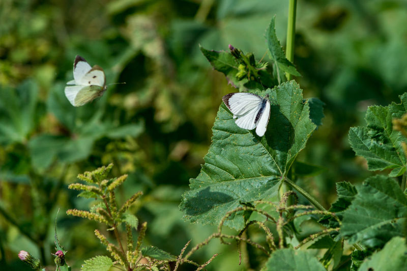 Close-up of white butterflies by plant