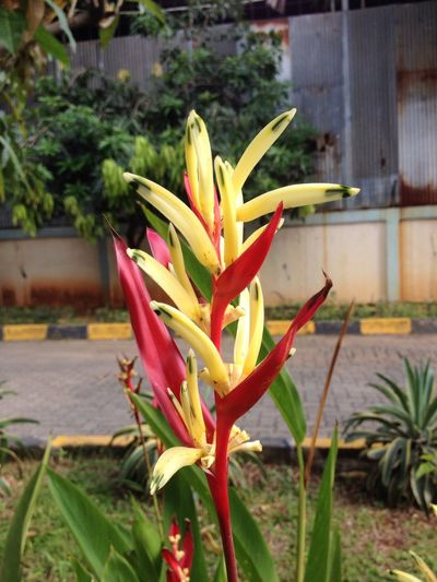Flower Growth Freshness Nature Beauty In Nature Plant Fragility Bird Of Paradise - Plant Petal Blooming Day No People Outdoors Flower Head Close-up