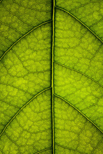 Plant Part Leaf Leaf Vein Plant Backgrounds Full Frame Green Color Close-up No People Textured  Beauty In Nature Natural Pattern Growth Nature Pattern Outdoors Botany Vulnerability  Fragility Leaves Textured Effect Seethrough