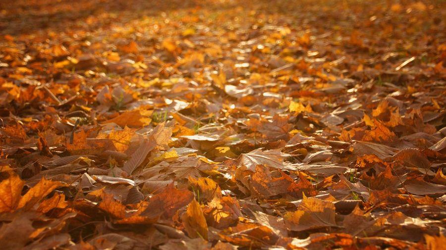 Full frame shot of maple leaves on field