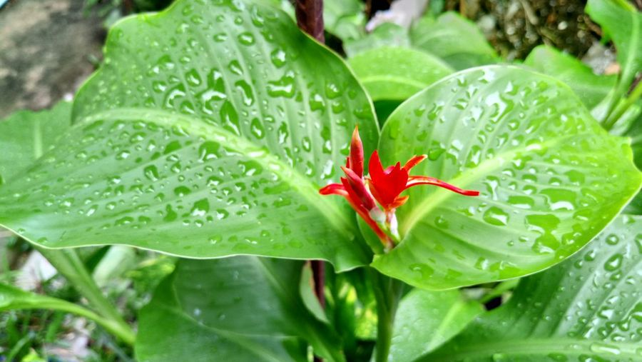 High angle view of wet red flower buds on field during rainy season