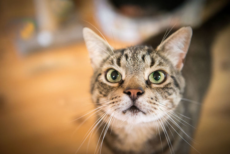 cat looking at camera Animal Themes Best Cat Ever Cat Cats Close-up Day Domestic Animals Domestic Cat Feline Focus On Foreground Looking At Camera Mammal No People One Animal Pets Portrait Whisker
