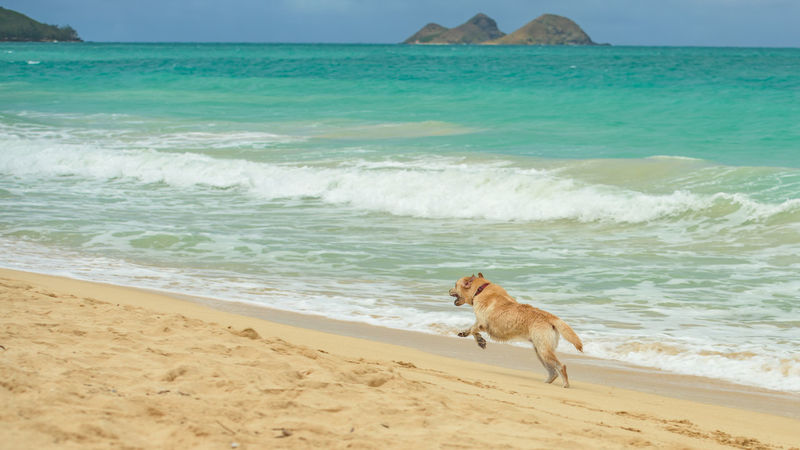Dogs on a tropical beach Animals Beach Beauty In Nature Coastline Day Dogs Domestic Animals Hawaii Holiday Horizon Over Water Kailua Beach Nature No One No People Oahu One Animal Outdoors Pet Playing Sand Sea Summer Tropical USA Water Sommergefühle
