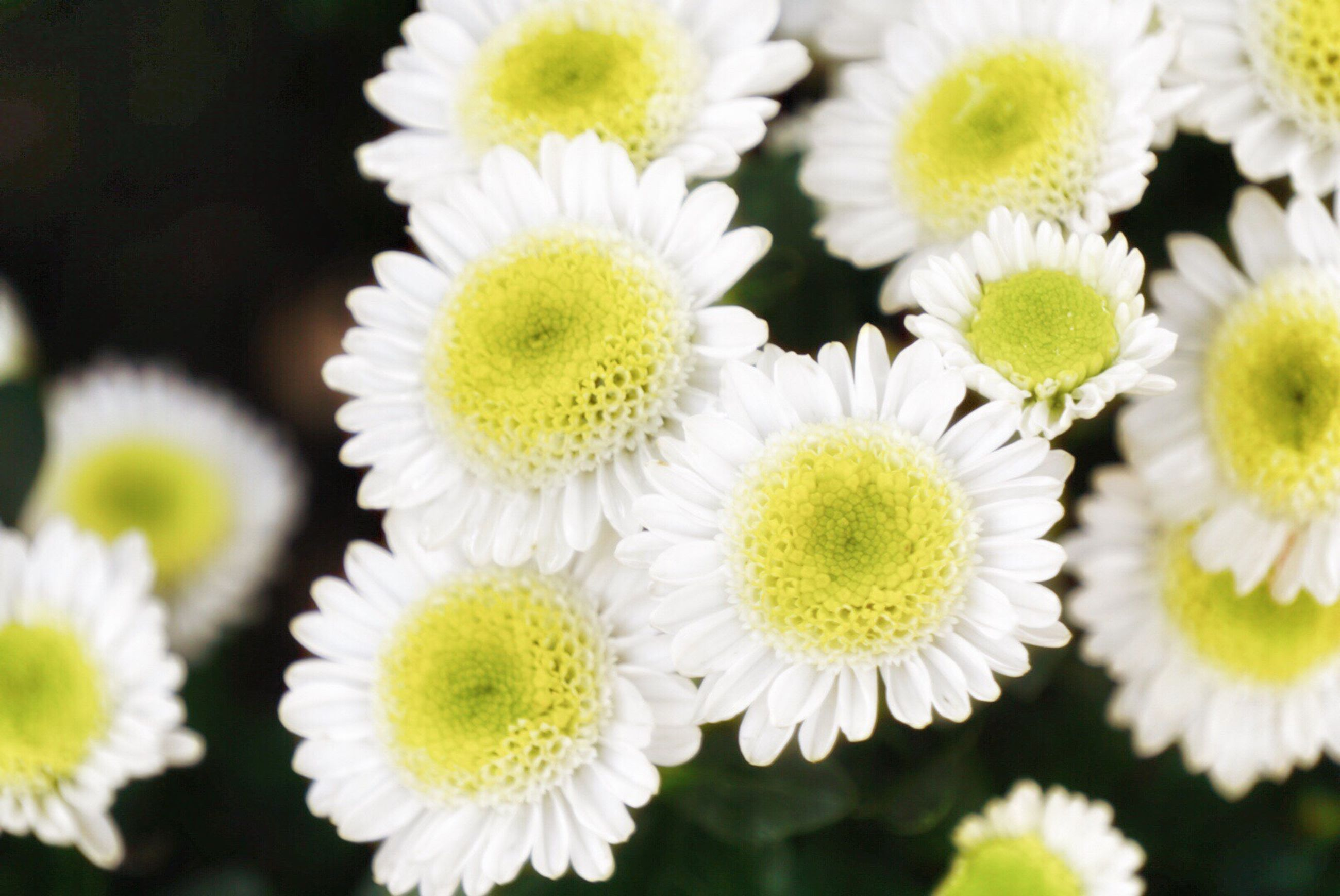 flower, white color, nature, fragility, beauty in nature, flower head, freshness, growth, plant, no people, outdoors, close-up, day