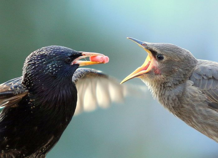 Close-up of starlings with food in beak