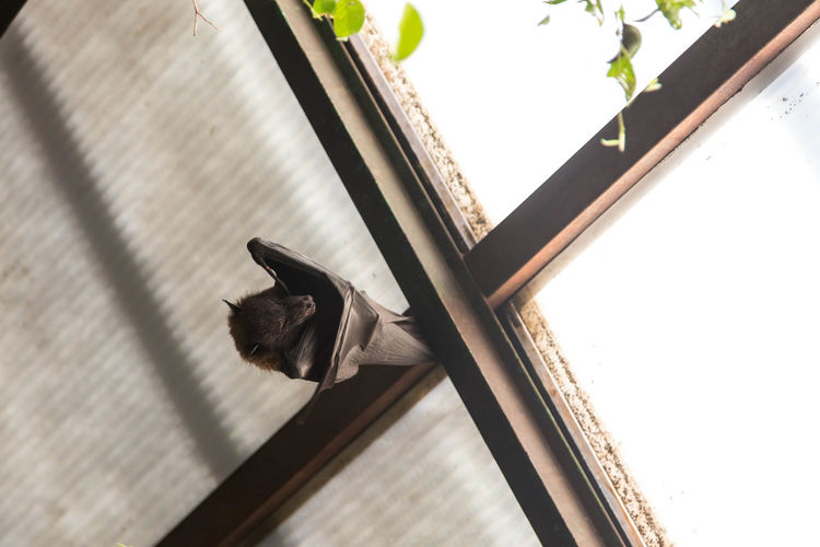 Low angle view of bat on roof beam