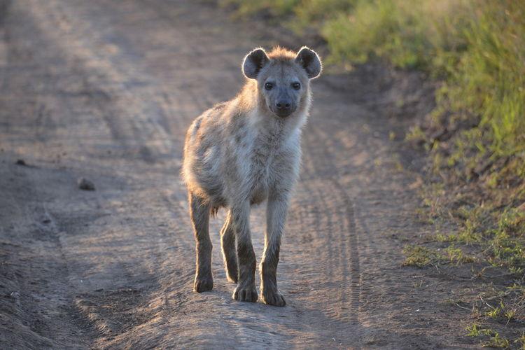 Portrait of hyena standing on dirt road