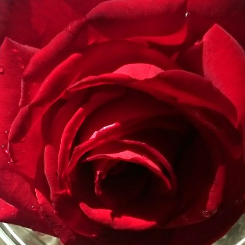 I rarely post pictures of flowers. I'm not really that good at it. At least not with a Smartphone But I thought I should make an exception for this Beautiful rose It's actually called Ingrid Bergman Smartphonephotography Smartphone Photography Flower Flowers Flower Collection Roses