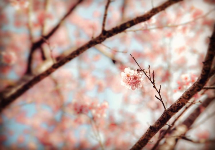 EyeEm Diversity Tree Branch Growth Nature Flower Beauty In Nature No People Day Close-up Outdoors Fragility Freshness Sky Sky And Trees Fineartphotography Space Beauty In Nature Low Angle View Cherry Blossoms Growth Sakura Taiwan Springtime Earth Portrait EyeEmNewHere