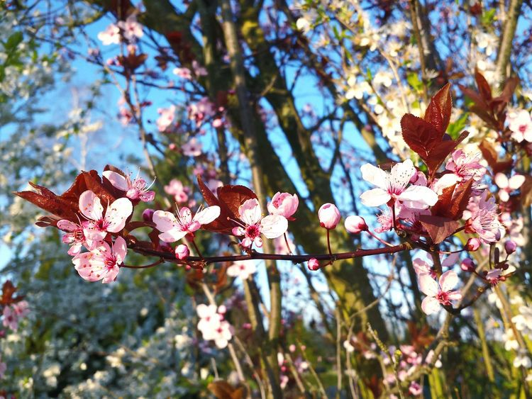 Nature Beauty In Nature Growth Freshness Springtime Fragility Close-up Pink Color Low Angle View Branch Sky Zierliche Blüten Focus On Foreground Wonderful Springtime Wonderful Nature Blooming Tree Ladyphotographerofthemonth Blooming In Spring Trees And Bushes Focus On Macro Beauty Freshness Petal Close Up Pink Blossoms Macro Beauty