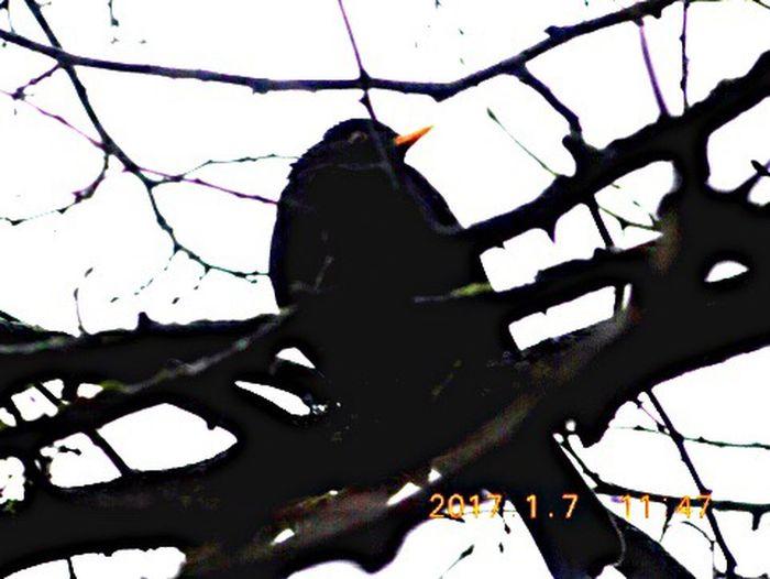 Blackbird Bird