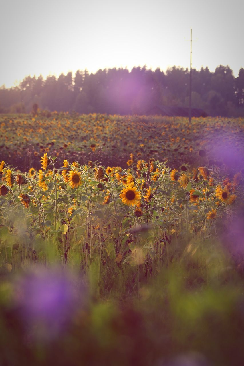plant, sky, field, growth, land, beauty in nature, nature, landscape, flower, flowering plant, sunlight, tranquility, no people, selective focus, environment, tranquil scene, scenics - nature, day, sunset, yellow, sun, outdoors, lens flare, bright