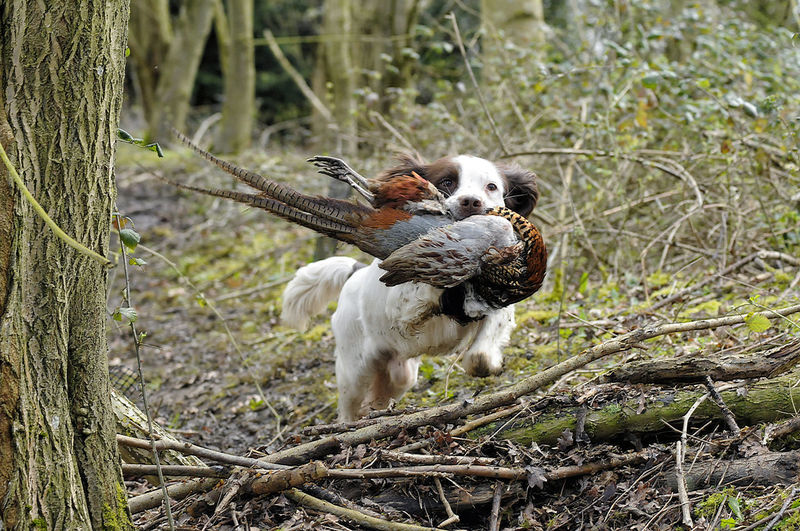 Brittany spaniel carrying dead pheasant in forest