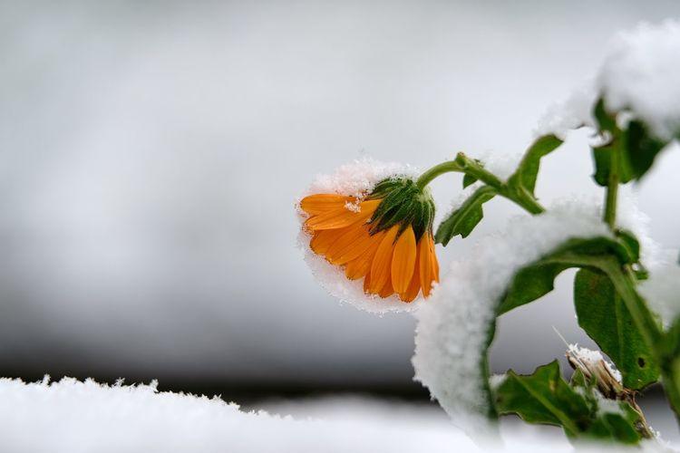 Frost Schneehäubchen Schneelandschaft Winter Beauty In Nature Close-up Cold Temperature Day Flower Flower Head Fragility Freshness Kalt Nature No People Outdoors Petal Ringelblumenbluete Winter