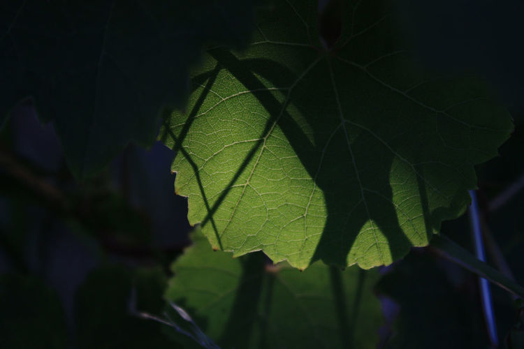 Blätter Focus On Foreground Green Leaf Leaf Vein Licht Und Schatten Light And Shadow Nature Plant Weinblätter