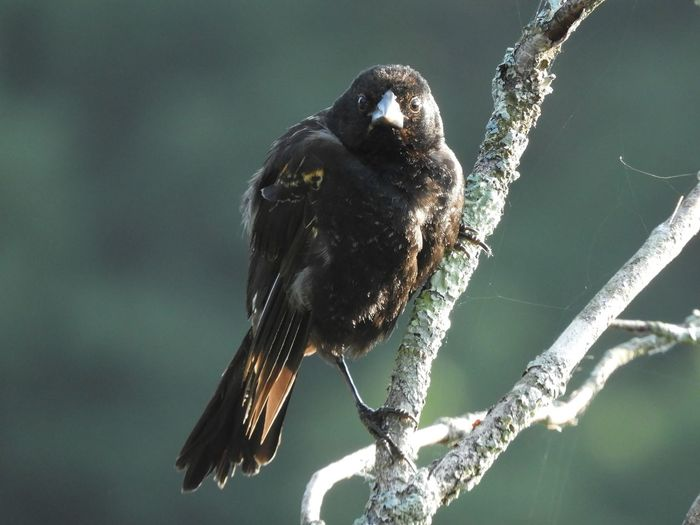Close-up of black bird perching on branch