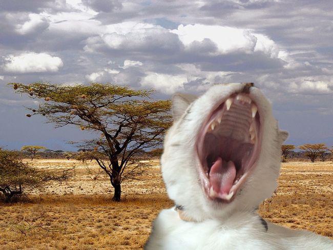 Yawning Cat Wild Cats