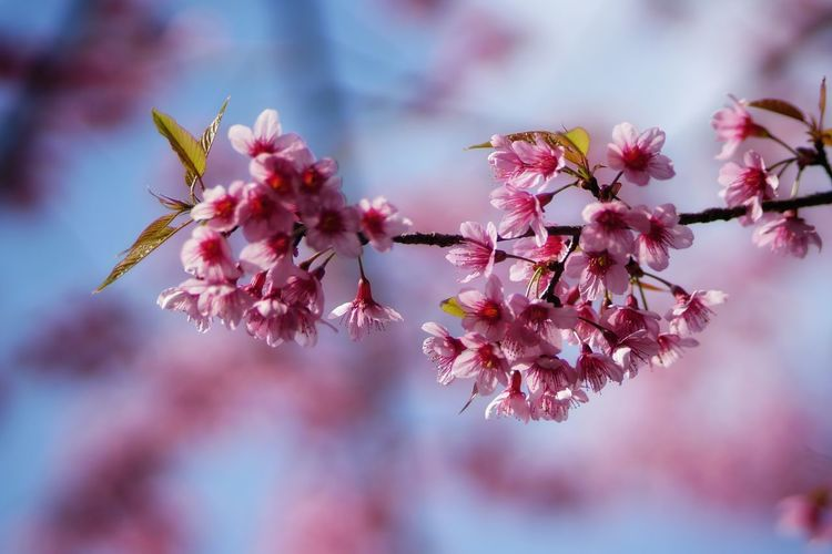 No People No Person Day Flower Tree Branch Springtime Flower Head Pink Color Sky Close-up Cherry Blossom In Bloom Blooming