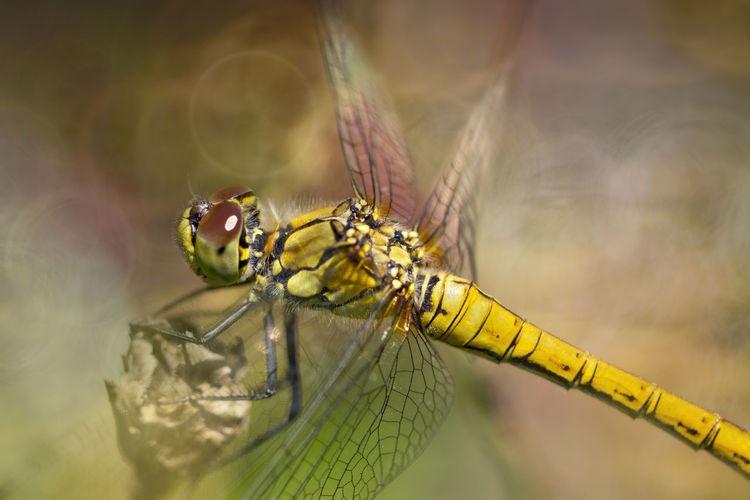 Dragonfly Beauty In Nature Bokeh Bokeh Photography Callantsoog Canon Close-up Detail Dragonfly Insect Macro Nature Outdoors Zwanenwater