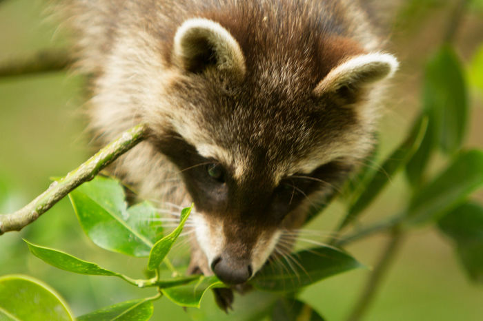 Animal Animal Body Part Animal Head  Animal Themes Baby Animal Baby Raccoons Beauty In Nature Mammal Nature Outdoors Portrait Raccoon Whisker Wildlife
