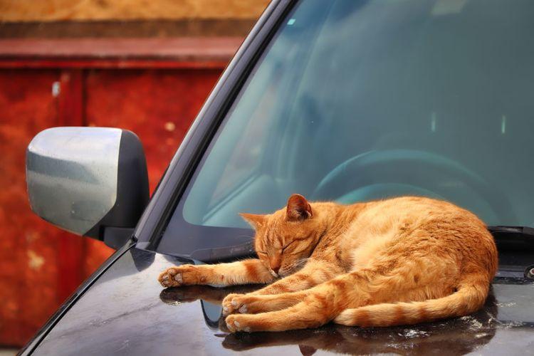 Cat lying down in car