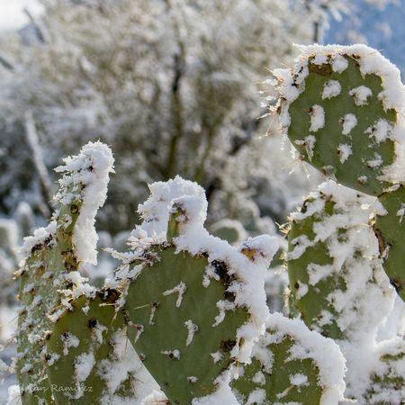 Cacti Snow Desert Prickly Pear Arizona Nature Opuntia
