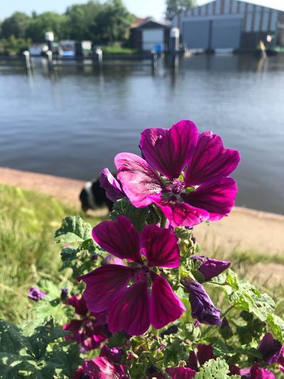 Flowers during my walk with the dog Morning Walk Nature Dog Pink Purple At The Waters' Edge No Filter, No Edit, Just Photography Flower Flowering Plant Plant Water Beauty In Nature Vulnerability  Pink Color