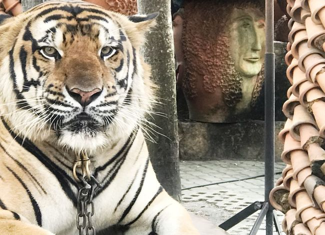 Tiger EyeEmNewHere EyeEm Nature Lover Tiger No People Mammal Feline Tiger Big Cat Cat Day Close-up Animal Wildlife Outdoors One Animal This Is Strength EyeEmNewHere