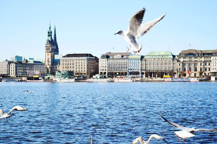 Seagulls flying over lake in city against clear sky